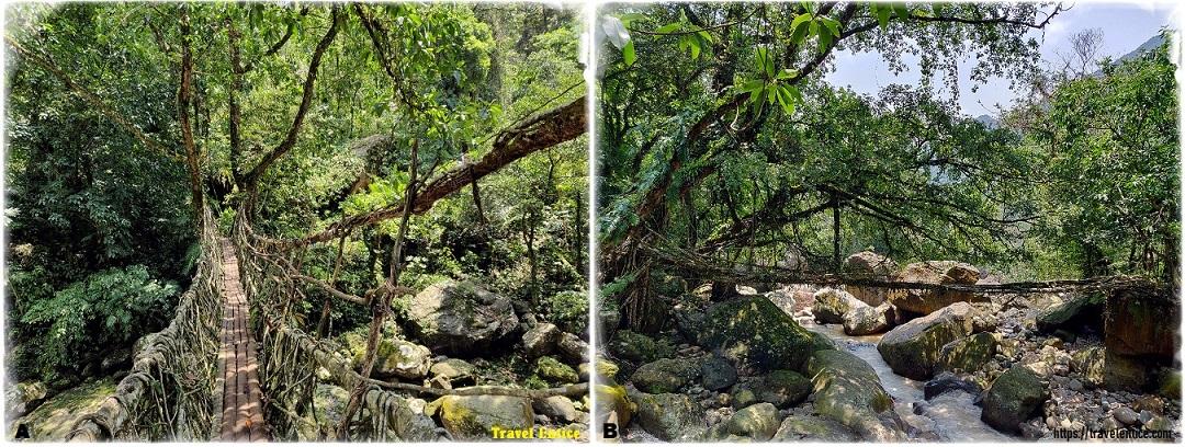 Double Decker Living Root Bridge – Single layer root bridge on the way