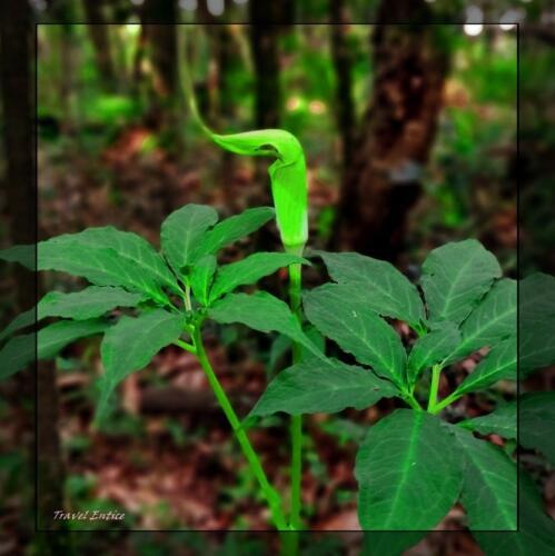 Best places to visit at Shillong  - plants inside Mawphlang sacred forest 3